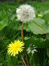The Dandelion with