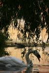 Swan in the evening dusk